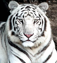 tigre blanc 61